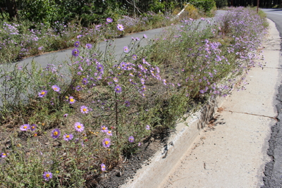 Invasive non-native Dieteria on Meridian Blvd in Mammoth Lakes