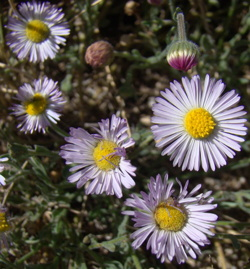Erigeron multiceps - photo by Kathy LaShure