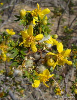 Creosote Bush Flowers and Fruit