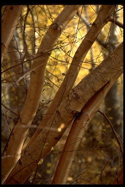 Water Birch, photo by Jo Ann Ordano, CalAcademy